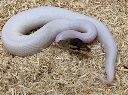 Picture of Female Cinnamon Pied
